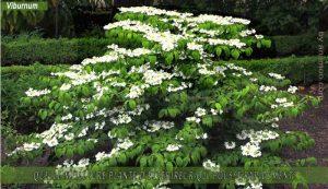 Viburnum : meilleure plante d'extérieur qui pousse rapidement