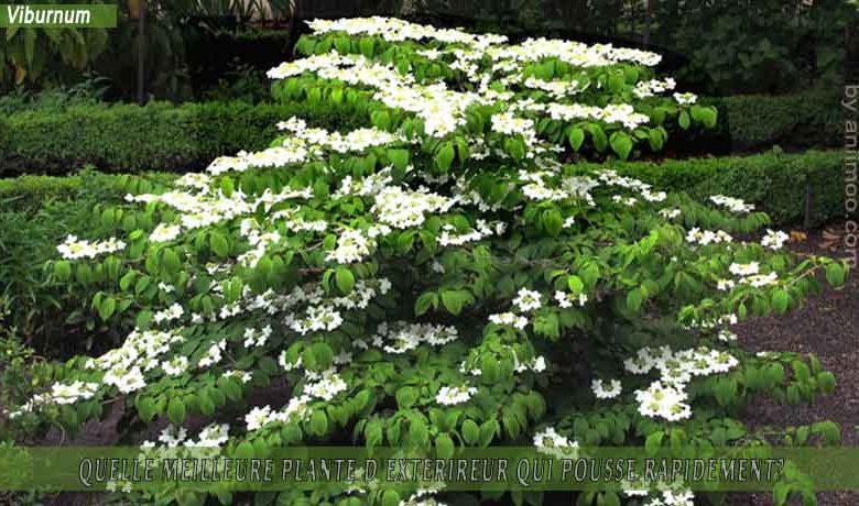 Viburnum: meilleure plante d'extérieur qui pousse rapidement