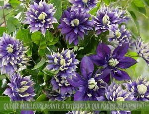 Clematis - Clématite :: meilleure plante d'extérieur qui pousse rapidement