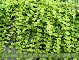 Creeping Jenny - Jenny rampante :: meilleure plante d'extérieur qui pousse rapidement