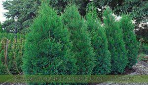 Cyprès de Leyland une des meilleure plante d'extérieur qui pousse rapidement