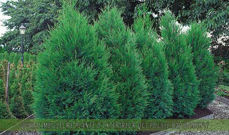 Cyprès de Leyland   : meilleure plante d'extérieur qui pousse rapidement