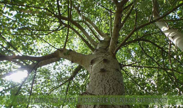 Tremble   : meilleure plante d'extérieur qui pousse rapidement