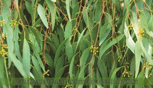 l'Eucalyptus une des meilleure plante d'extérieur qui pousse rapidement