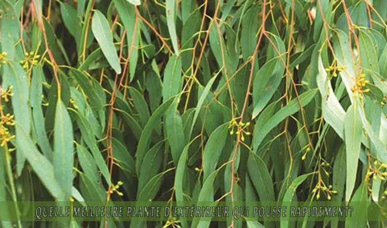 l'Eucalyptus   : meilleure plante d'extérieur qui pousse rapidement