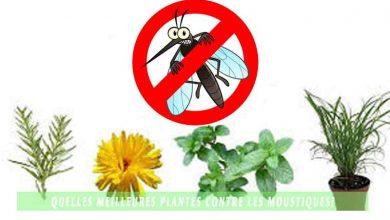 Quelles meilleures plantes contre les moustiques?