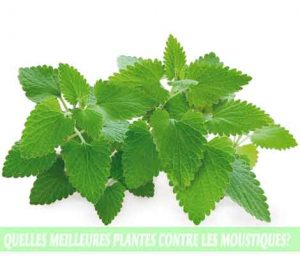 Catnip / Herbe aux chats, menthe aux chats, Cataire ou Chataire