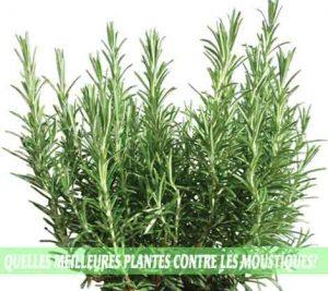 Rosemary / Romarin (Salvia rosmarinus