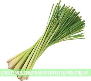 Lemongrass / Verveine citronnée