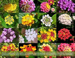 LANTANA : : Quelles sont les meilleures plantes pour décorer la porte d'entrée
