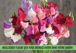 Sweet-Peas---Pois-de-senteur-Meilleures-fleurs-que-vous-devriez-avoir-dans-votre-jardin