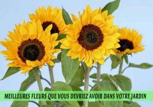 Tournesols---Sunflowers-Meilleures-fleurs-que-vous-devriez-avoir-dans-votre-jardin