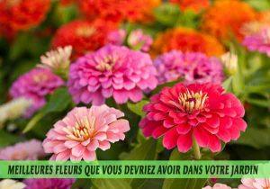 Zinnia-Meilleures-fleurs-que-vous-devriez-avoir-dans-votre-jardin