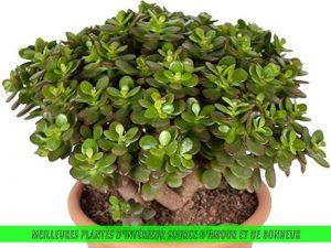 Jade Plant, Plante de Jade