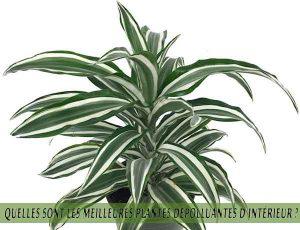 Quelles sont les meilleures plantes dépolluantes d'intérieur ? Dragonnier parfumé ou Dragonnier d'Afrique tropicale Dracaena fragrans- Janet Craig (Dracaena deremensis)
