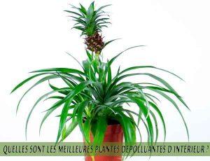 Quelles sont les meilleures plantes dépolluantes d'intérieur ? Pineapple Plant - Ananas
