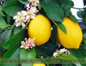 Lemons - Citrons - Quel meilleur arbre fruitier qui produise rapidement ses fruits