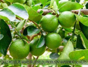 Limes - Quel meilleur arbre fruitier qui produise rapidement ses fruits