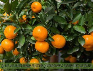 Mandarins - Quel meilleur arbre fruitier qui produise rapidement ses fruits