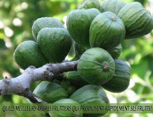 Fig - Figuiers - Quel meilleur arbre fruitier qui produise rapidement ses fruits