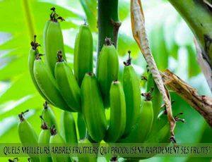 Plantain - Quel meilleur arbre fruitier qui produise rapidement ses fruits