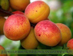 Apricots - Quel meilleur arbre fruitier qui produise rapidement ses fruits