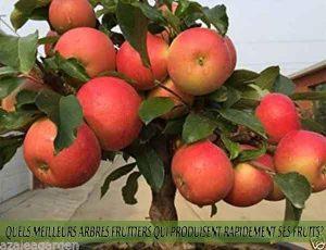 Apple Tree - Pommier - Quel meilleur arbre fruitier qui produise rapidement ses fruits