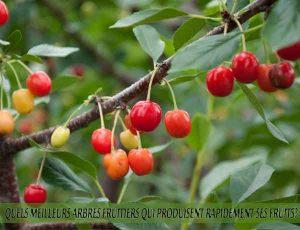Cherry - Cerise - Quel meilleur arbre fruitier qui produise rapidement ses fruits