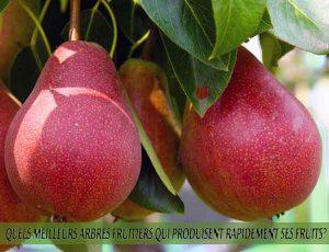 Pears - Poires - Quel meilleur arbre fruitier qui produise rapidement ses fruits