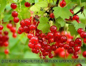 Currant - Groseille - Quel meilleur arbre fruitier qui produise rapidement ses fruits