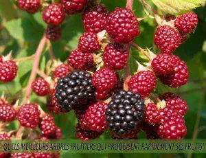 Blackberry - Mûre - Quel meilleur arbre fruitier qui produise rapidement ses fruits