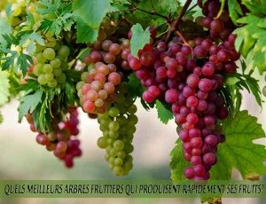 Grapes - Raisins - Quel meilleur arbre fruitier qui produise rapidement ses fruits