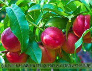 Nectarines - Quel meilleur arbre fruitier qui produise rapidement ses fruits