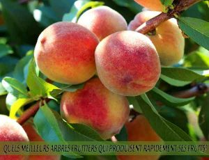 Peaches - Pêches - Quel meilleur arbre fruitier qui produise rapidement ses fruits