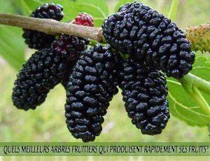 Mulberries - Mûres - Quel meilleur arbre fruitier qui produise rapidement ses fruits