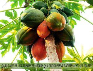 Papayas - Papayes - Quel meilleur arbre fruitier qui produise rapidement ses fruits